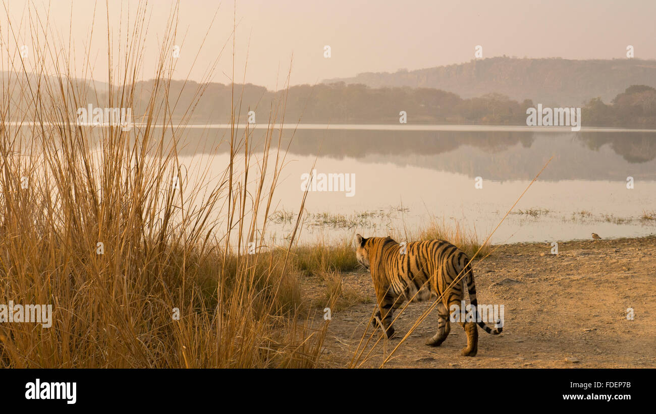 Wide angled shot of a wild tiger walking along the shores of the Raj Bagh lake on a misty winter morning in Ranthambhore tiger r Stock Photo