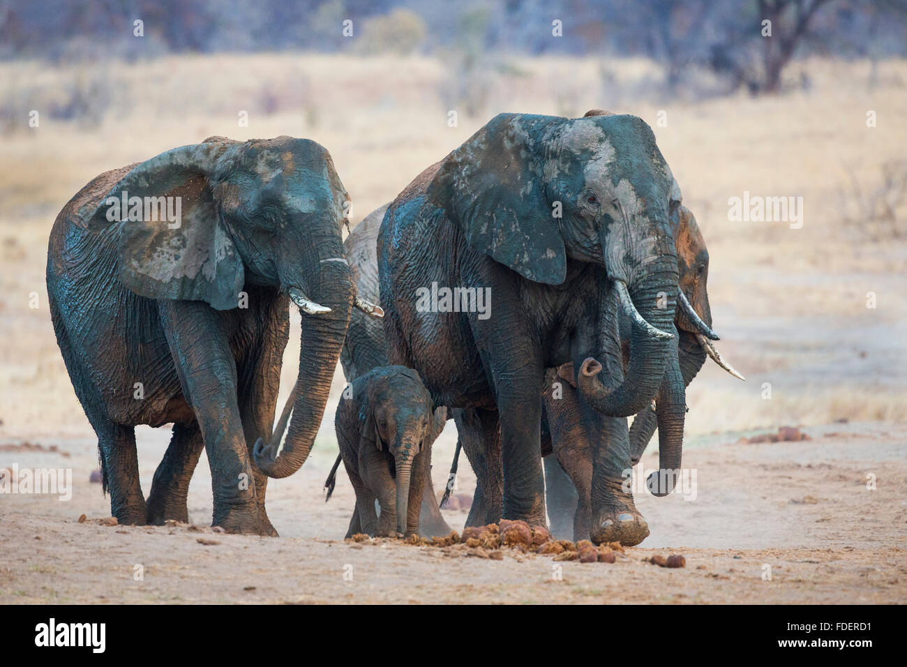 Frontal view of a four mud-splattered elephants walking with the cow sniffing the air Stock Photo