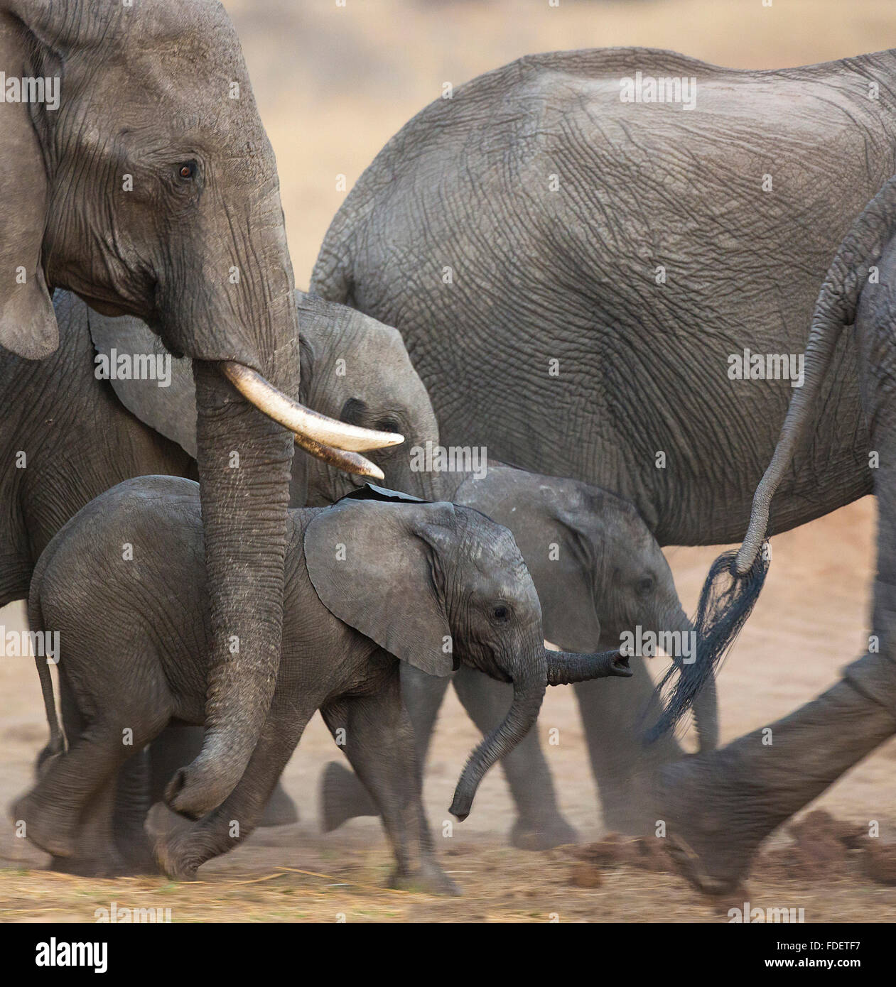 Close up of baby elephants walking in the midst of a breeding herd on the move, - Stock Image