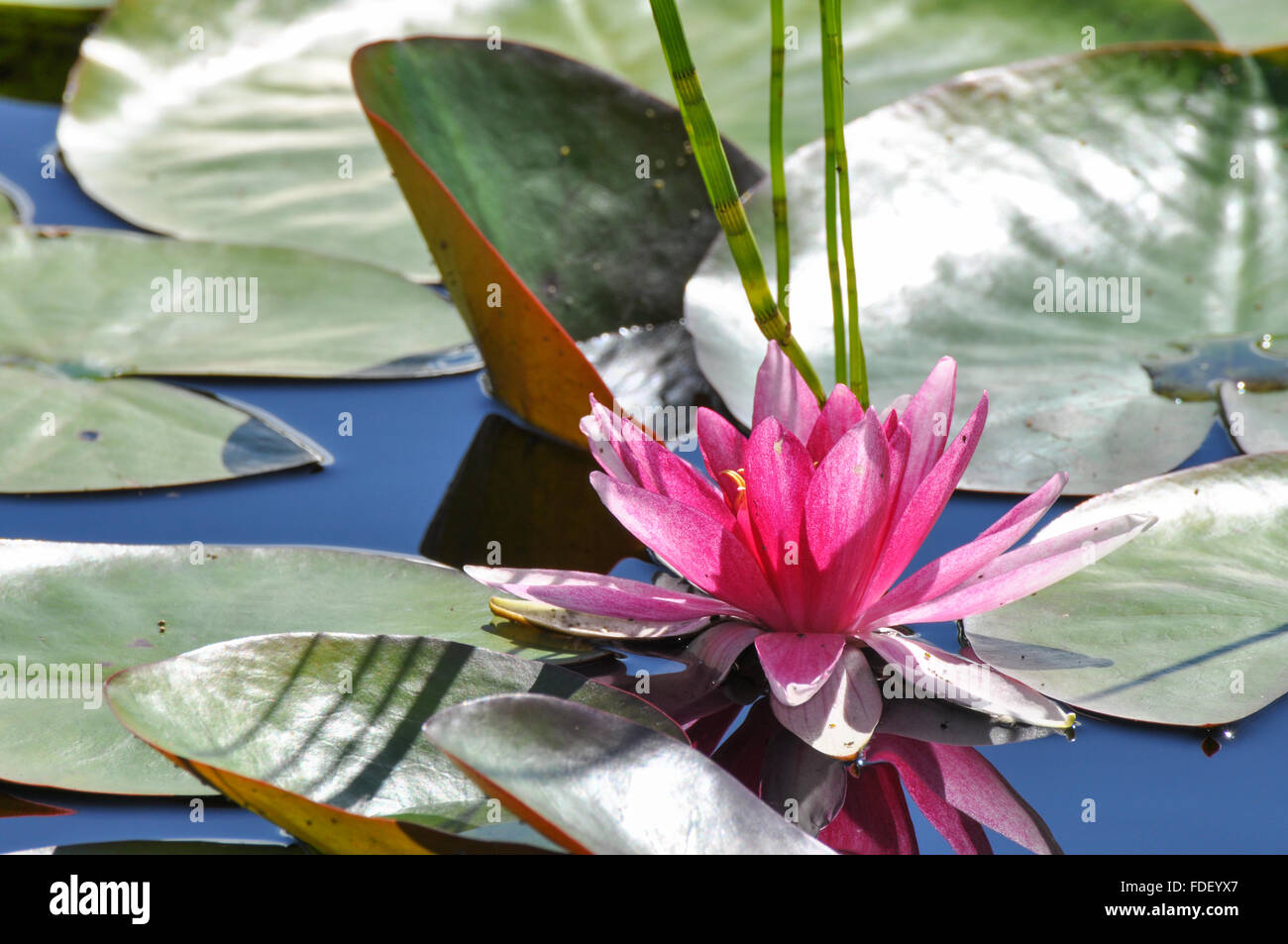 Nymphaeaceae Water Lily: Pink water lily with reflection and leaves in water. Stock Photo