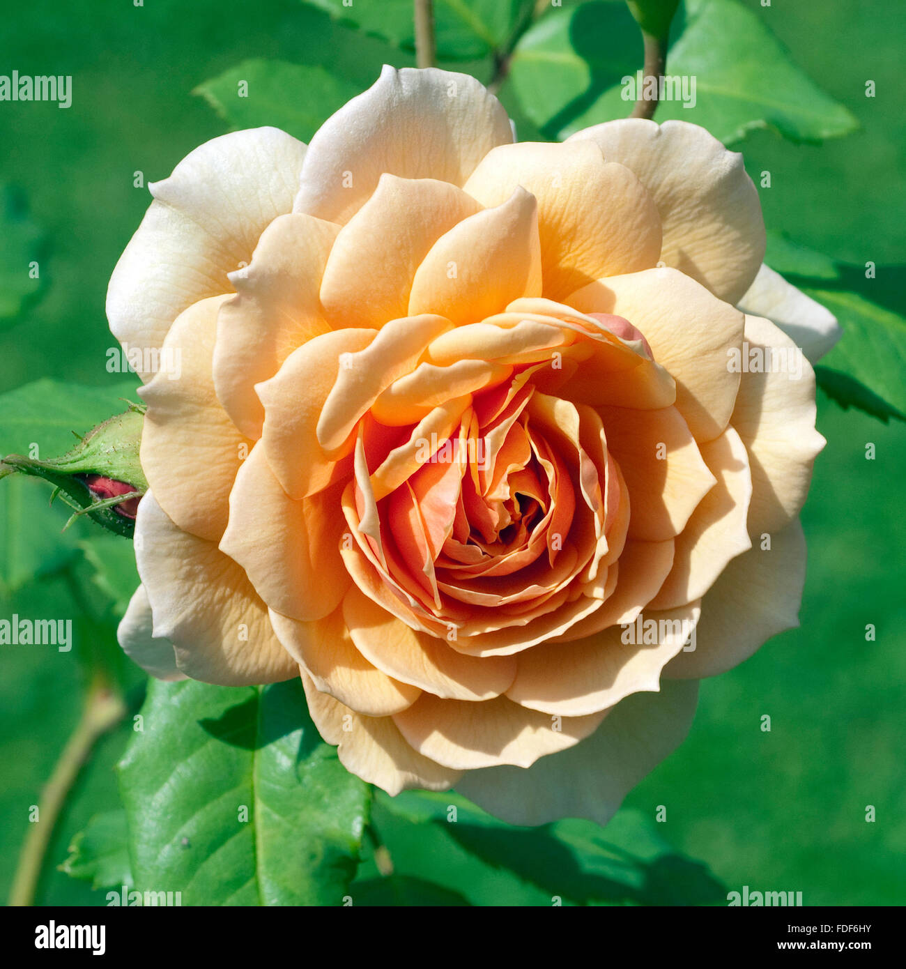 Englische Rose, Grace - Stock Image