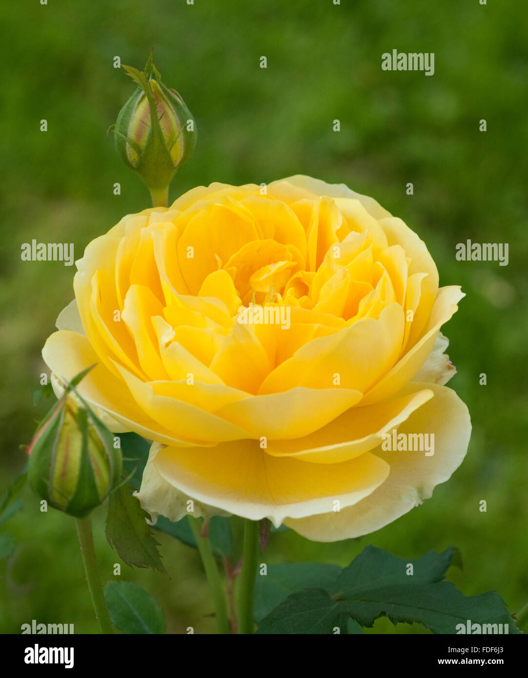 Englische Rose, Molineux, - Stock Image