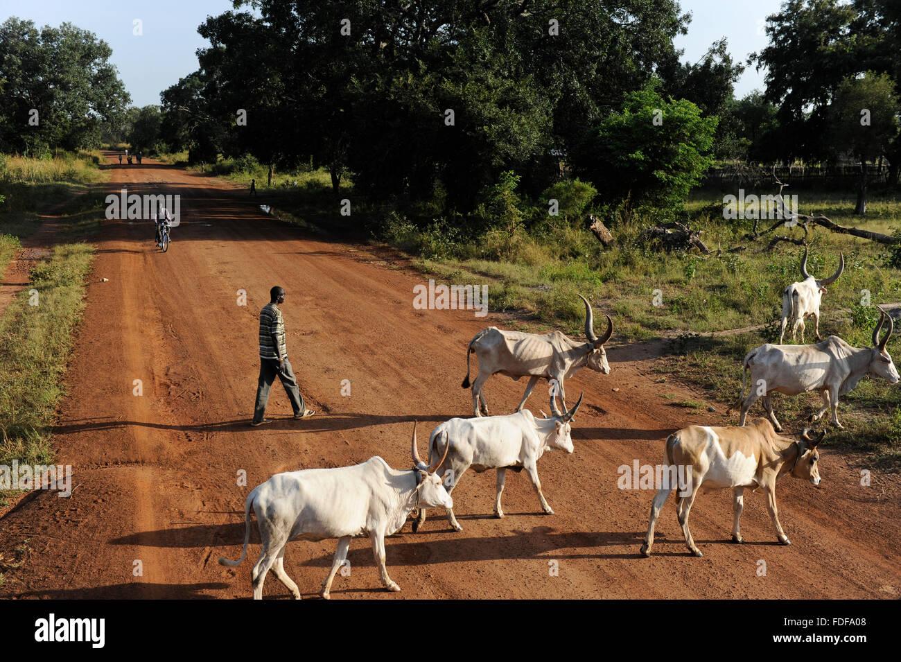 SOUTH SUDAN  Bahr al Ghazal region , Lakes State, road Juba to Rumbek, Dinka shepherd with grazing Cebu Cows / SUED - Stock Image