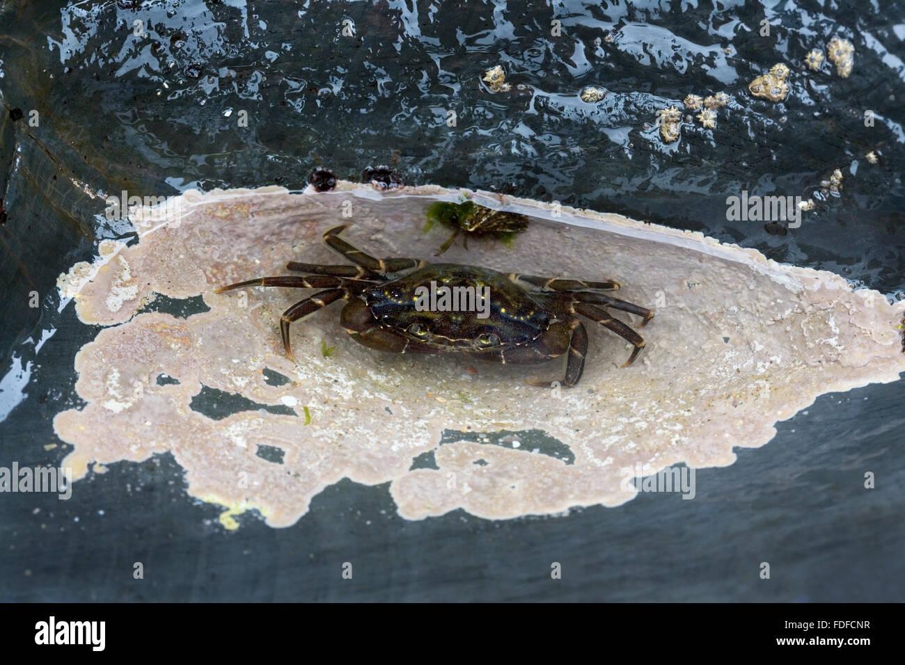 Green Shore Crab (Carcinus maenas) underwater, in rockpool, at Harlyn Bay, Cornwall, August 2009 - Stock Image