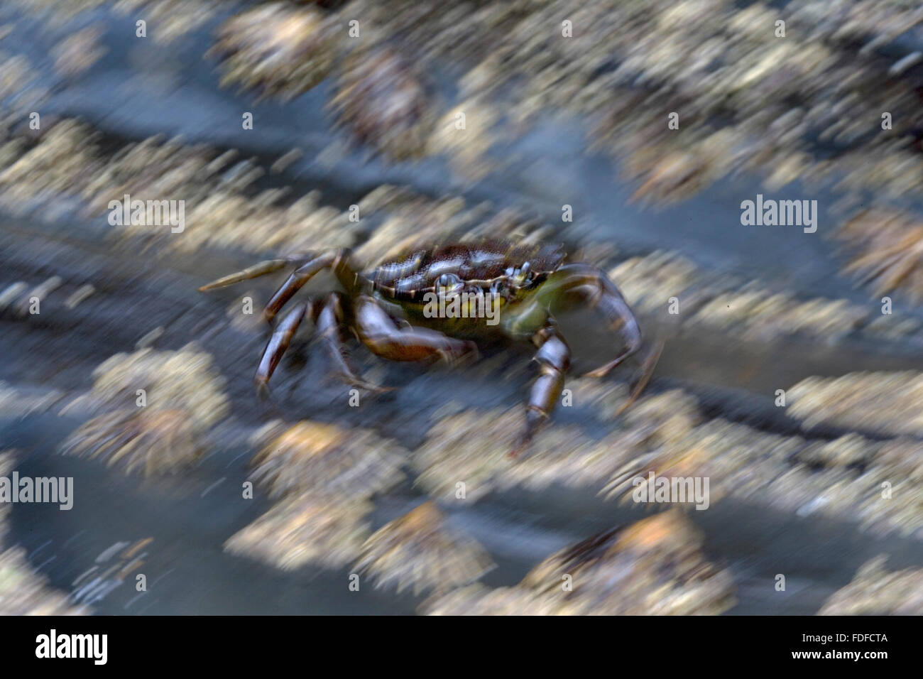 Green Shore Crab (Carcinus maenas) scuttling across rocks covered with limpets, blurred motion, at Harlyn Bay, Cornwall, - Stock Image