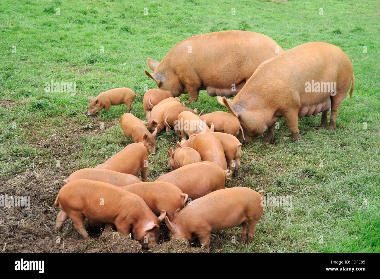 Family Of Domestic Pigs Tamworth Adult Pair With Seventeen