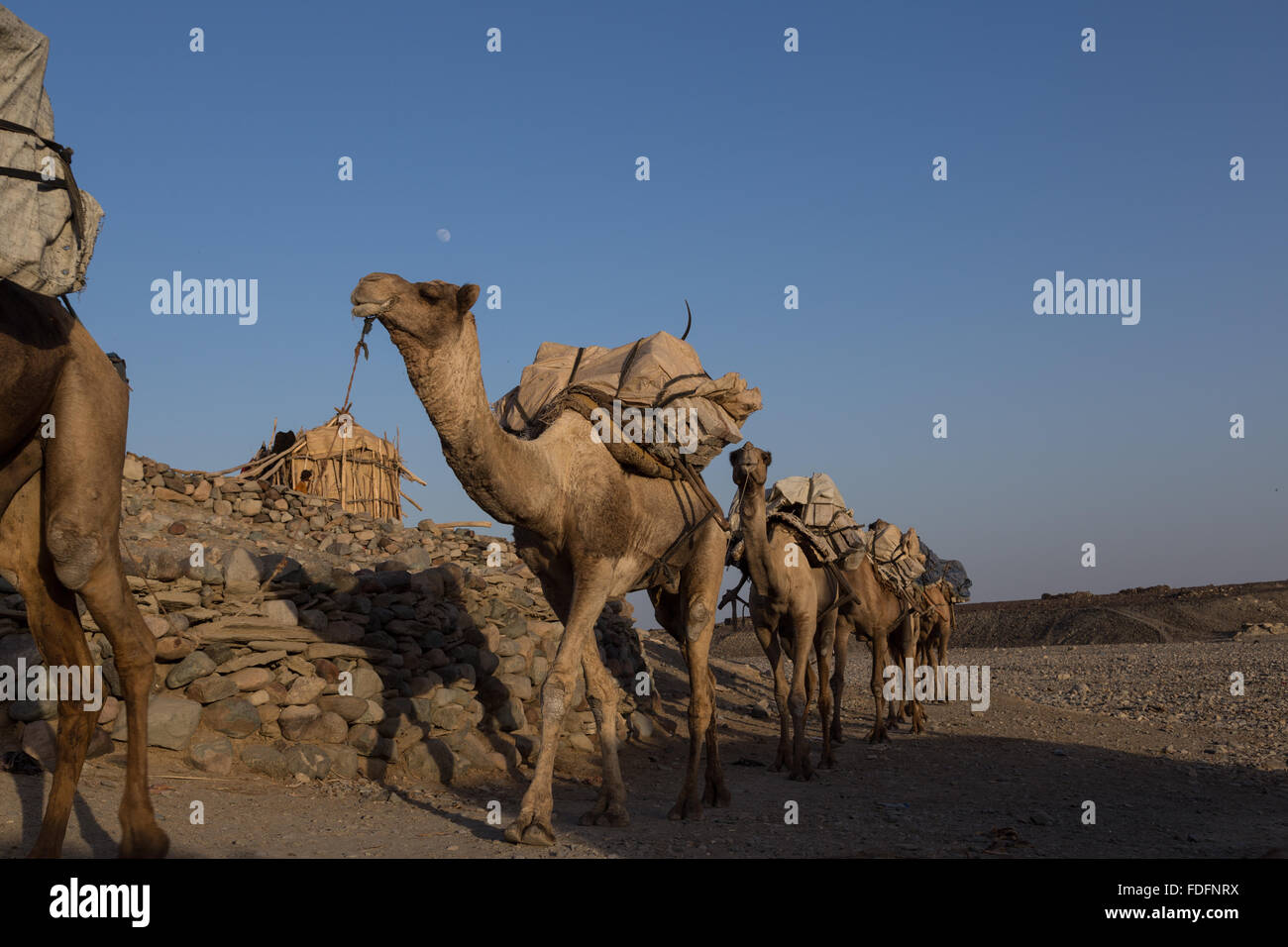 Camels carrying hand-cut tablets of salt arrive in Hamedila from the nearby salt pans as they have done for hundreds - Stock Image