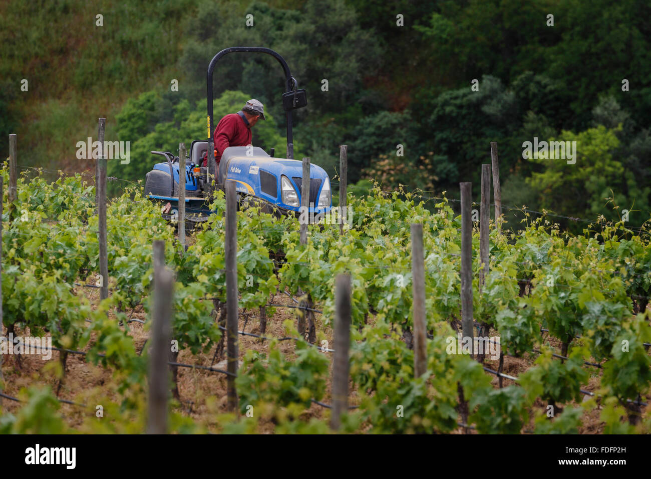 Portugal.  Man on tractor tending vineyard along Douro river between Paso da Regua and Pinhao - Stock Image