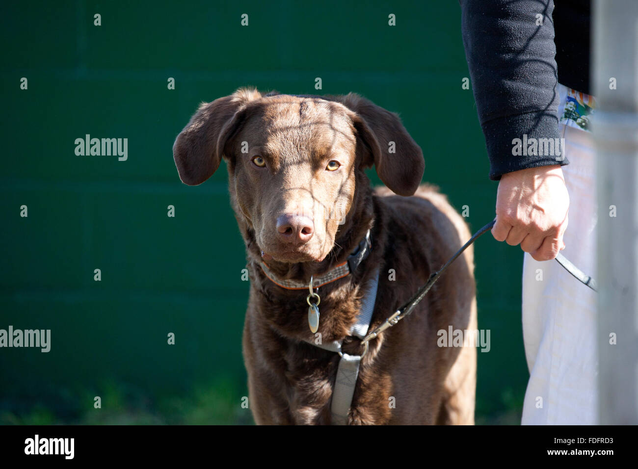 Angry looking large brown dog held on short leash by owner watching. St Paul Minnesota MN USA - Stock Image