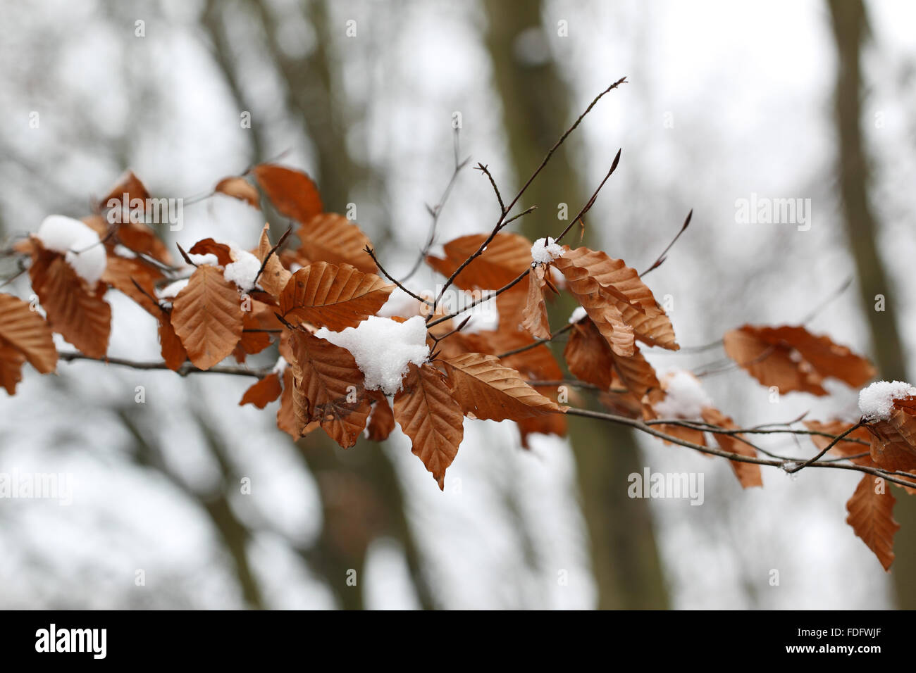 birch leaves in snow - Stock Image