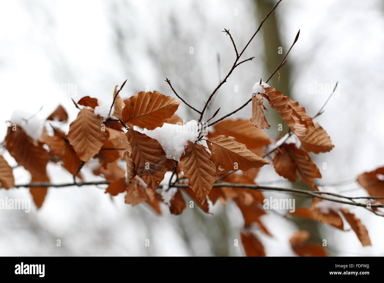 birch leaves and snow - Stock Image