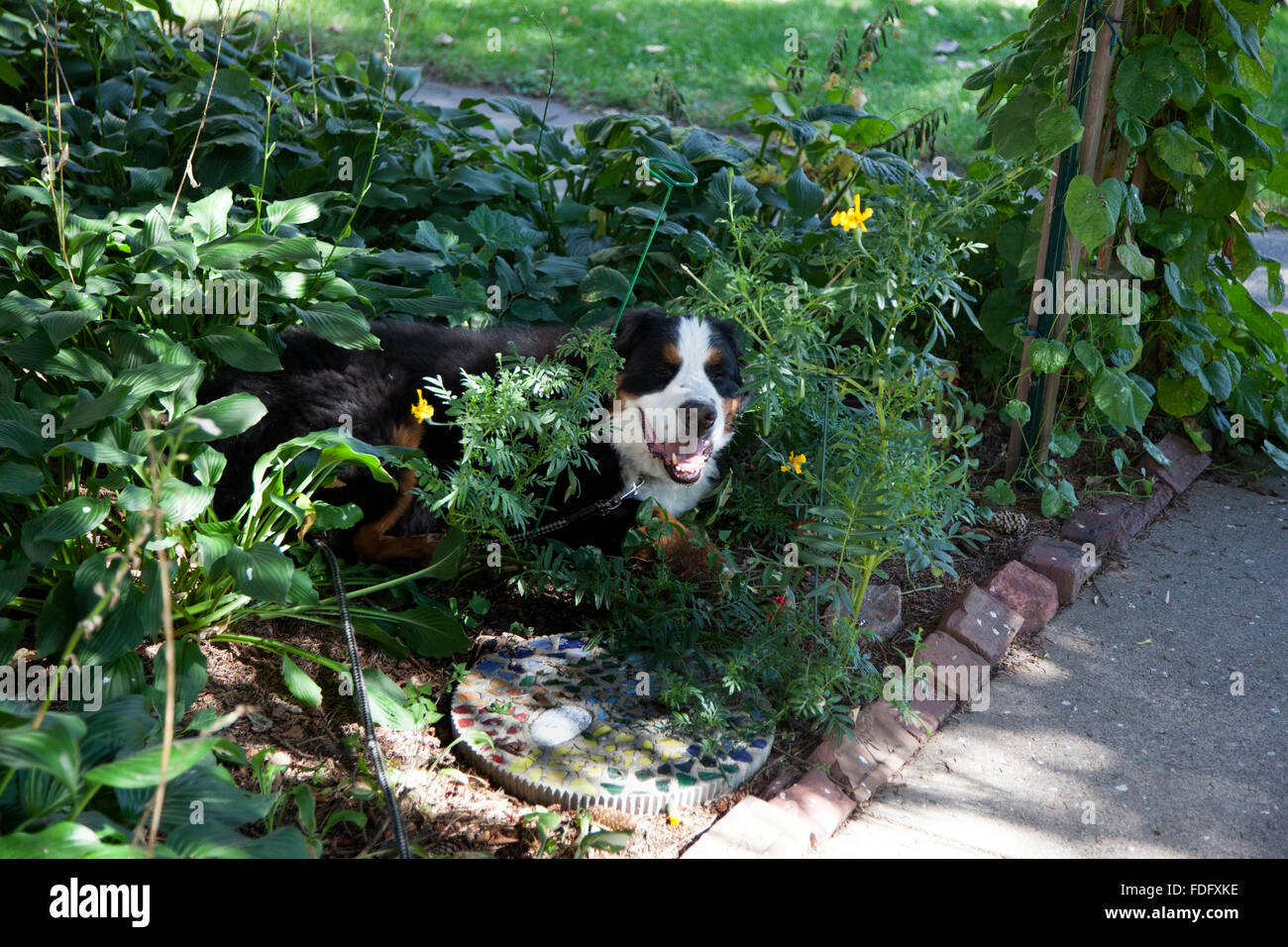 Bernese Mountain Dog shamelessly cooling off in my garden. St Paul Minnesota MN USA - Stock Image