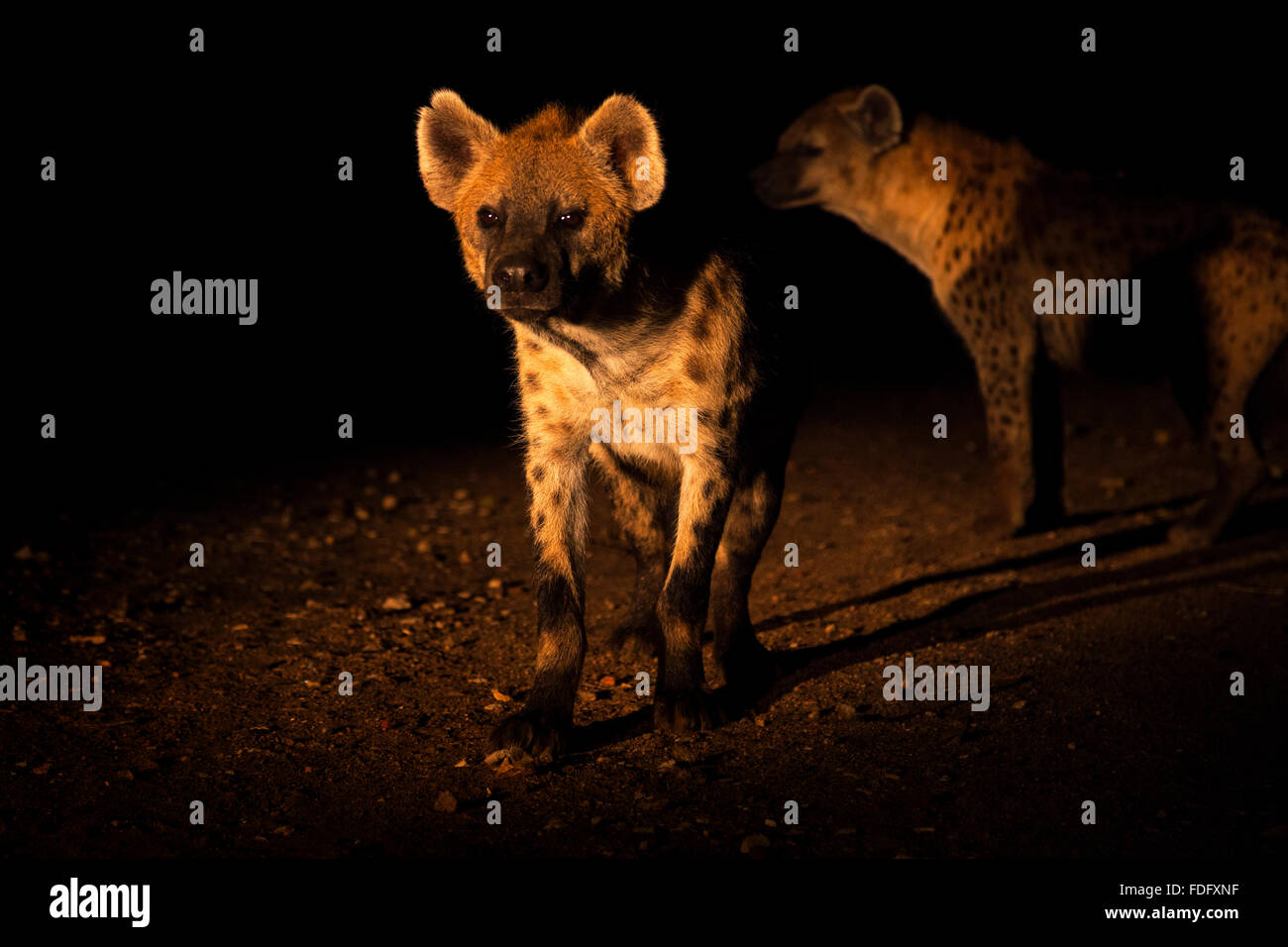 Two spotted hyenas at night, Harar, Ethiopia. - Stock Image
