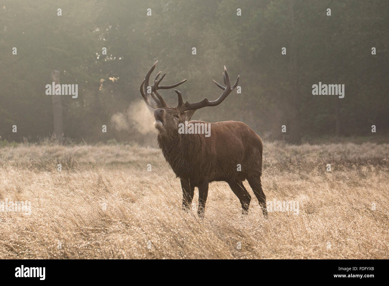 Winter breath of a Red Stag - Stock Image