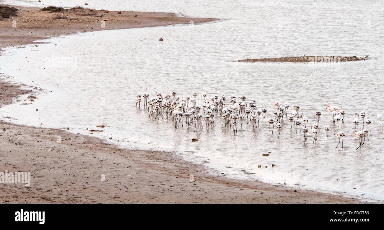 Group of wild Flamingo Birds feeding at Larnaca salt lake in Cyprus Stock Photo