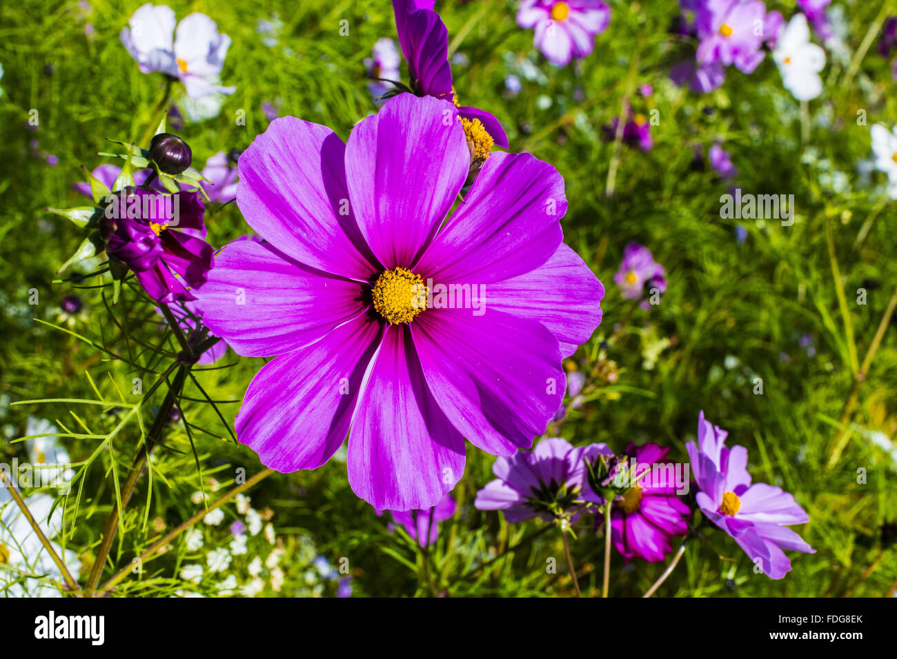 Large purple cosmos flower in a meadow. - Stock Image
