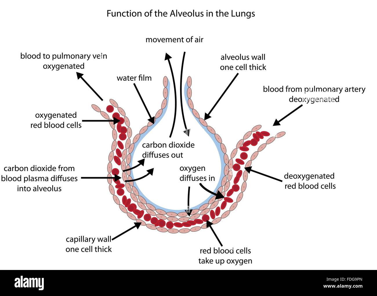 Fully labelled diagram of the alveolus in the lungs showing ... on costal surface of lung, lung nodules, lung drawing, mediastinal surface of lung, clara cell, lung lobes, lung infection, conducting zone, lung model, respiratory bronchiole, bronchopulmonary segment, lung structure, lung hilum, base of lung, borders of lung, apex of lung, alveolar duct, horizontal fissure of right lung, lingula of left lung, lung cartoon, lung cross section, lung function, lung health, lung segments, lung apex, lung animation, lung disease, root of the lung, oblique fissure, lung force, cardiac notch, lung bleb, terminal bronchiole, hilum of lung, lung tree birds, right lung, lung mri, lung volumes, pulmonary alveolus,
