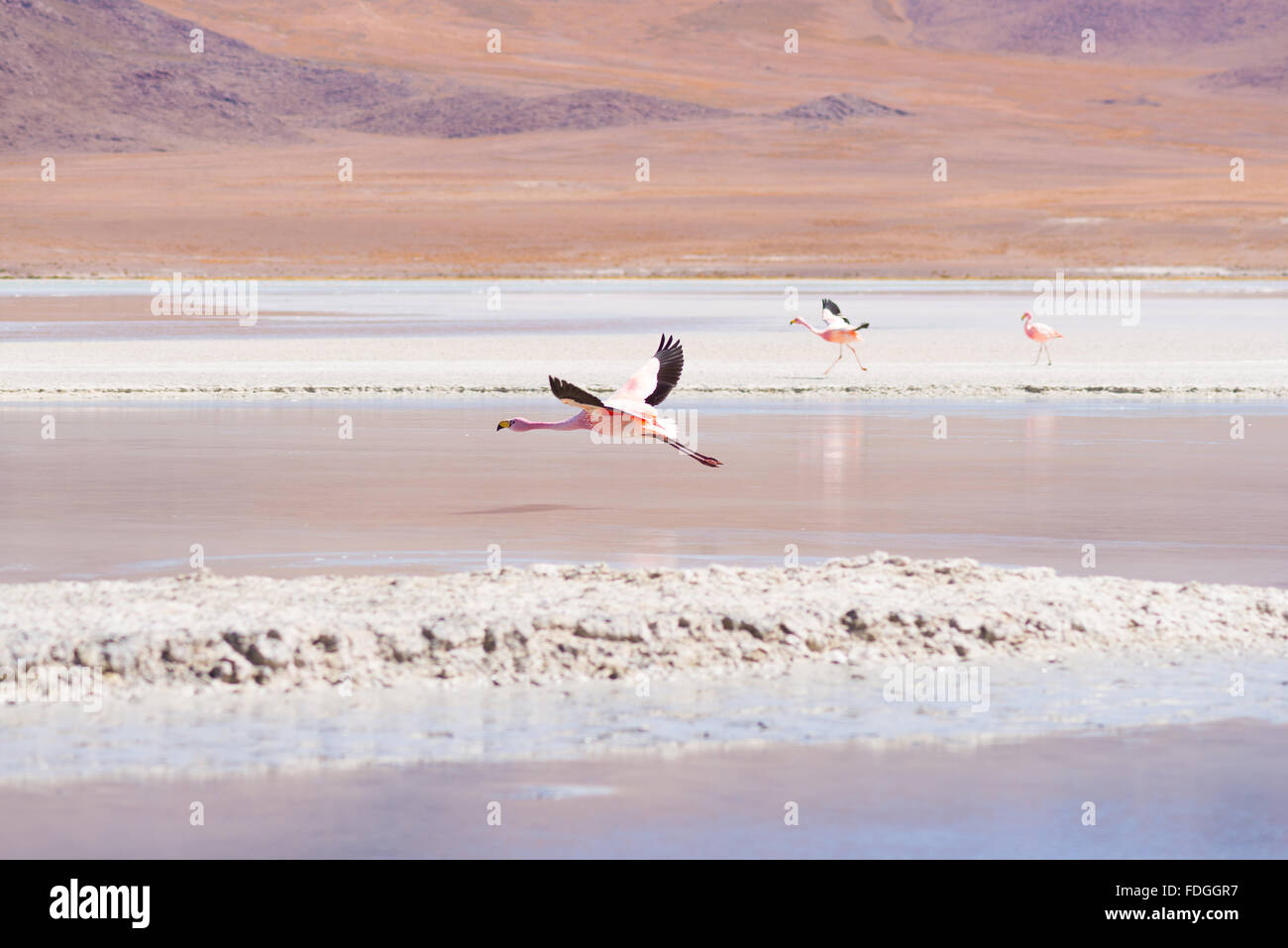 Pink flamingo flying over 'Laguna Hedionda' (eng. Hedionda Lake), among the most scenic travel destination - Stock Image