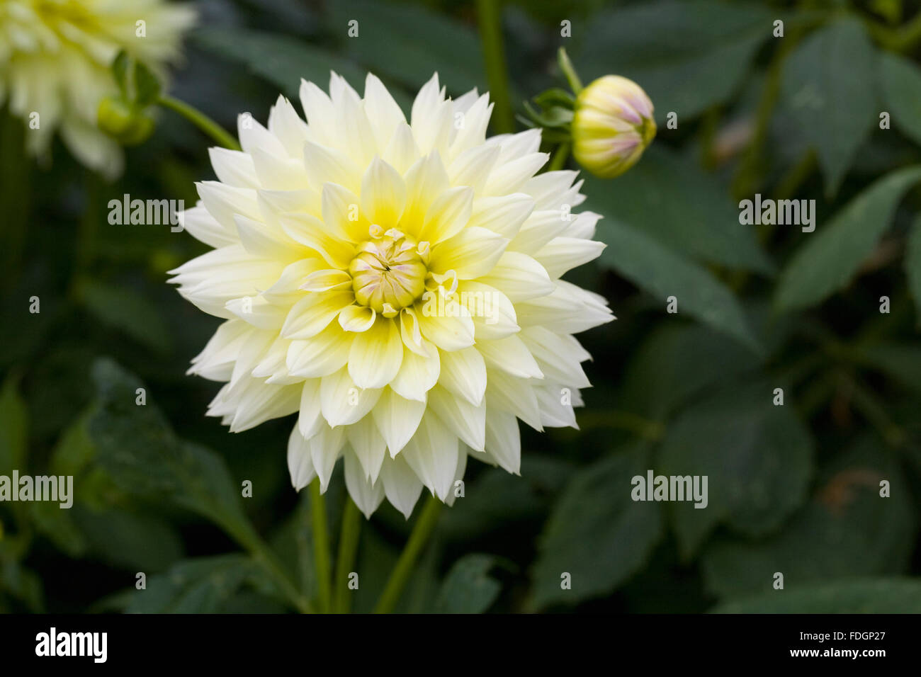 Pale yellow dahlia stock photos pale yellow dahlia stock images pale yellow dahlia flower stock image izmirmasajfo