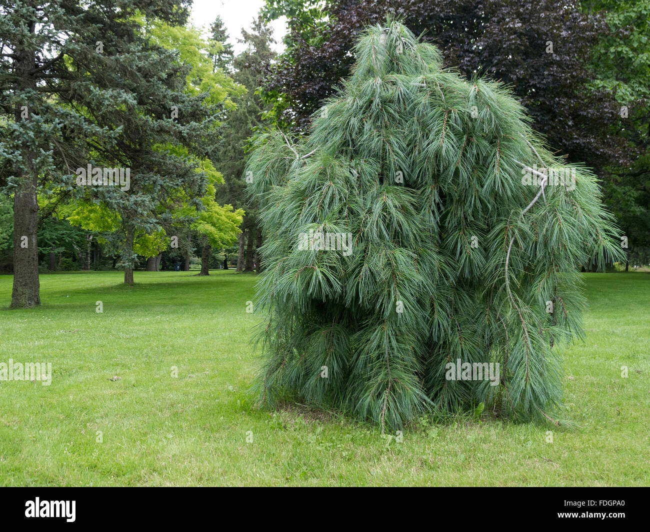 A Weeping White Pine Pinus Strobus Pendula On The West Side Stock