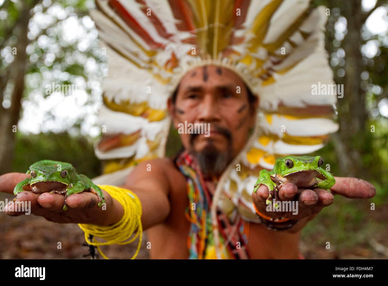 Shaman with frogs to elaborate Kambo medicine. Amazon. Alto jurua. Croa, Brazil Stock Photo