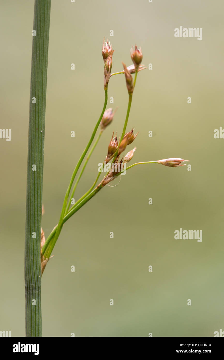 Hard rush (Juncus inflexus) in seed.A common rush with ripe seeds growing on farmland in Somerset, UK - Stock Image