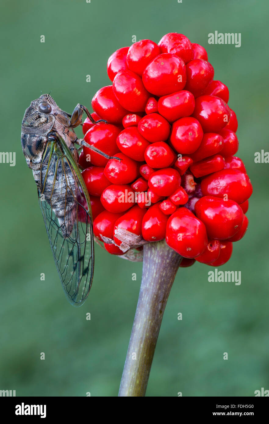 Swamp Cicada (Neotibicen tibicen) on Jack-In-The-Pulpit berries (Arisaema triphyllum) , Eastern USA - Stock Image