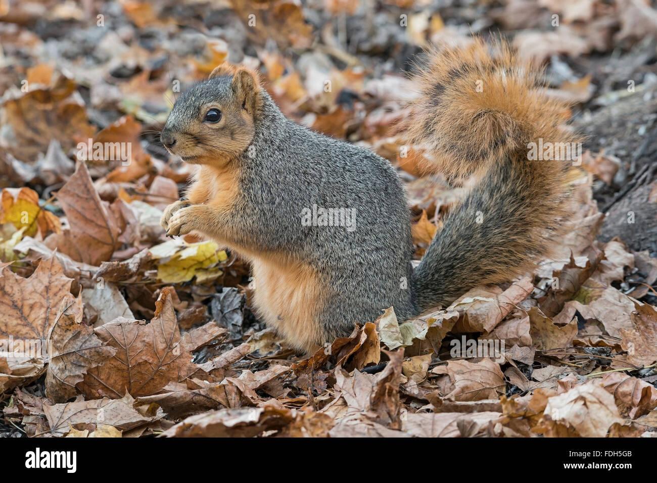 Eastern Fox Squirrel (Sciurus niger) on forest floor, eating nuts, acorns, Autumn, E North America - Stock Image