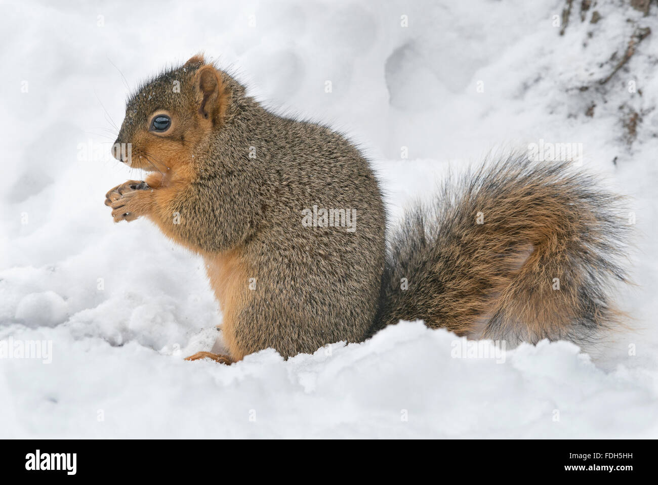 Eastern Fox Squirrel Sciurus niger recovering and eating stored nuts from food cache Eastern North America - Stock Image