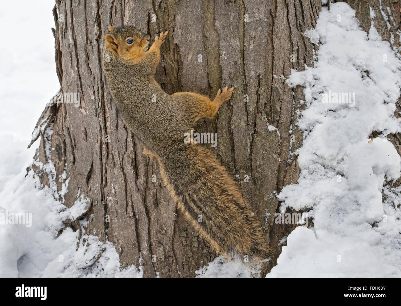Eastern Fox Squirrel (Sciurus niger)  climbing tree, Winter, E North America - Stock Image