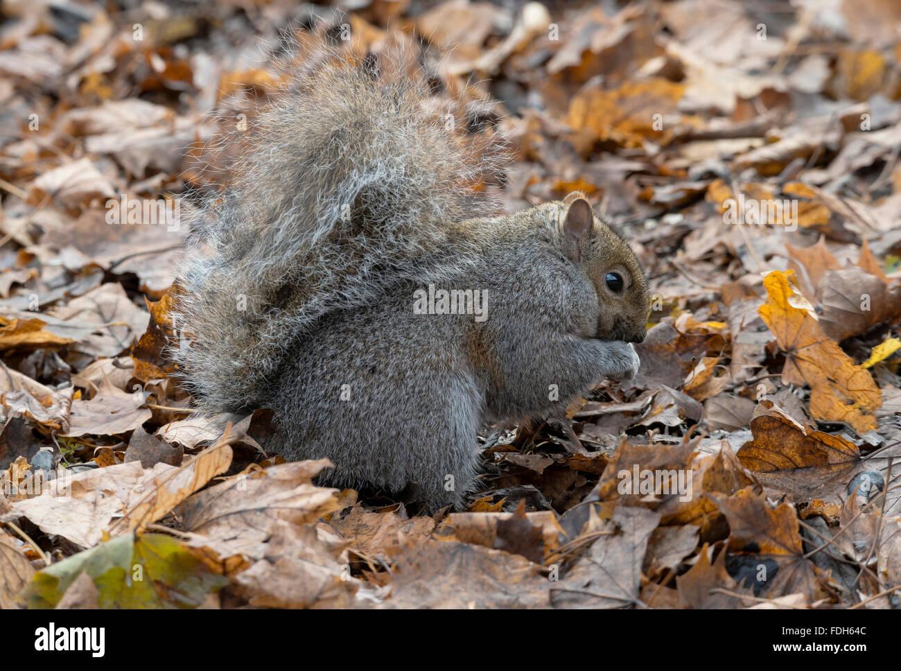 Eastern Gray Squirrel (Sciurus carolinensis) on forest floor, eating nuts, Autumn, E North America - Stock Image