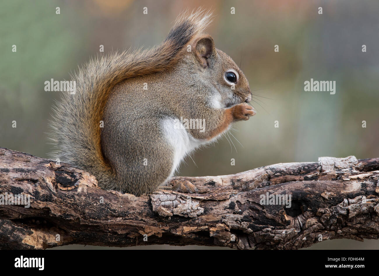 Eastern Red Squirrel eating seeds (Tamiasciurus or Sciurus hudsonicus) E North America - Stock Image
