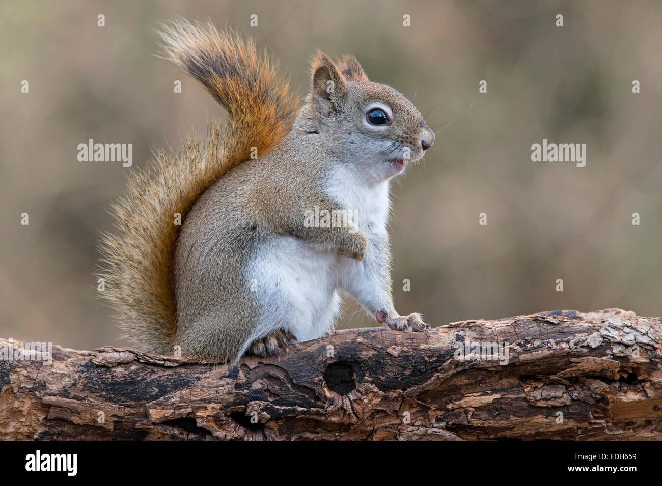 Eastern Red Squirrel making sounds (Tamiasciurus or Sciurus hudsonicus) E North America - Stock Image