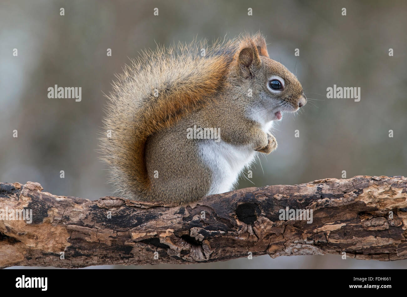 Eastern Red Squirrel making sounds (Tamiasciurus or Sciurus hudsonicus) E North America - Stock Image