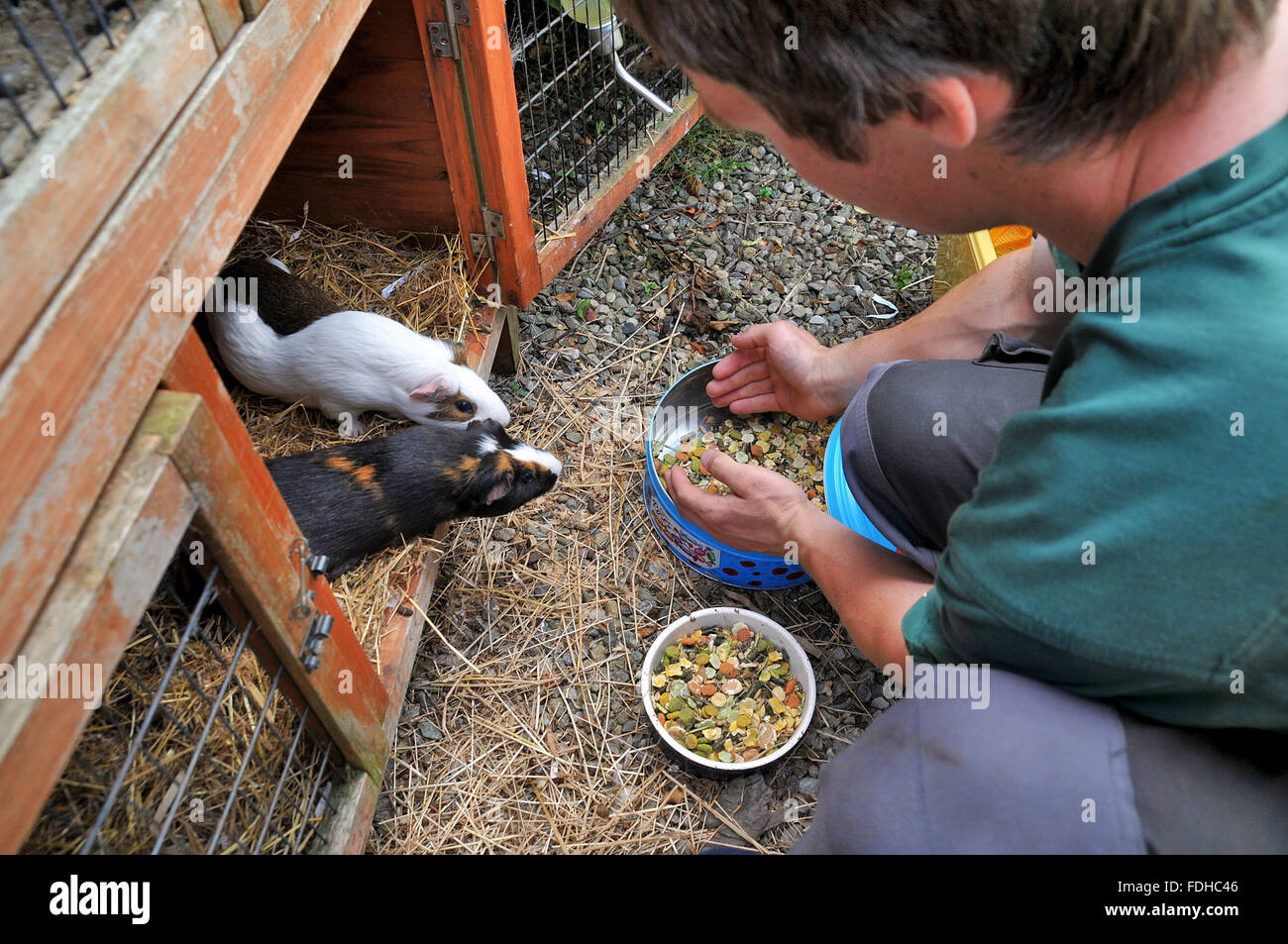 A teenage boy fills the food dish for 2 guinea pigs in their hutch. - Stock Image