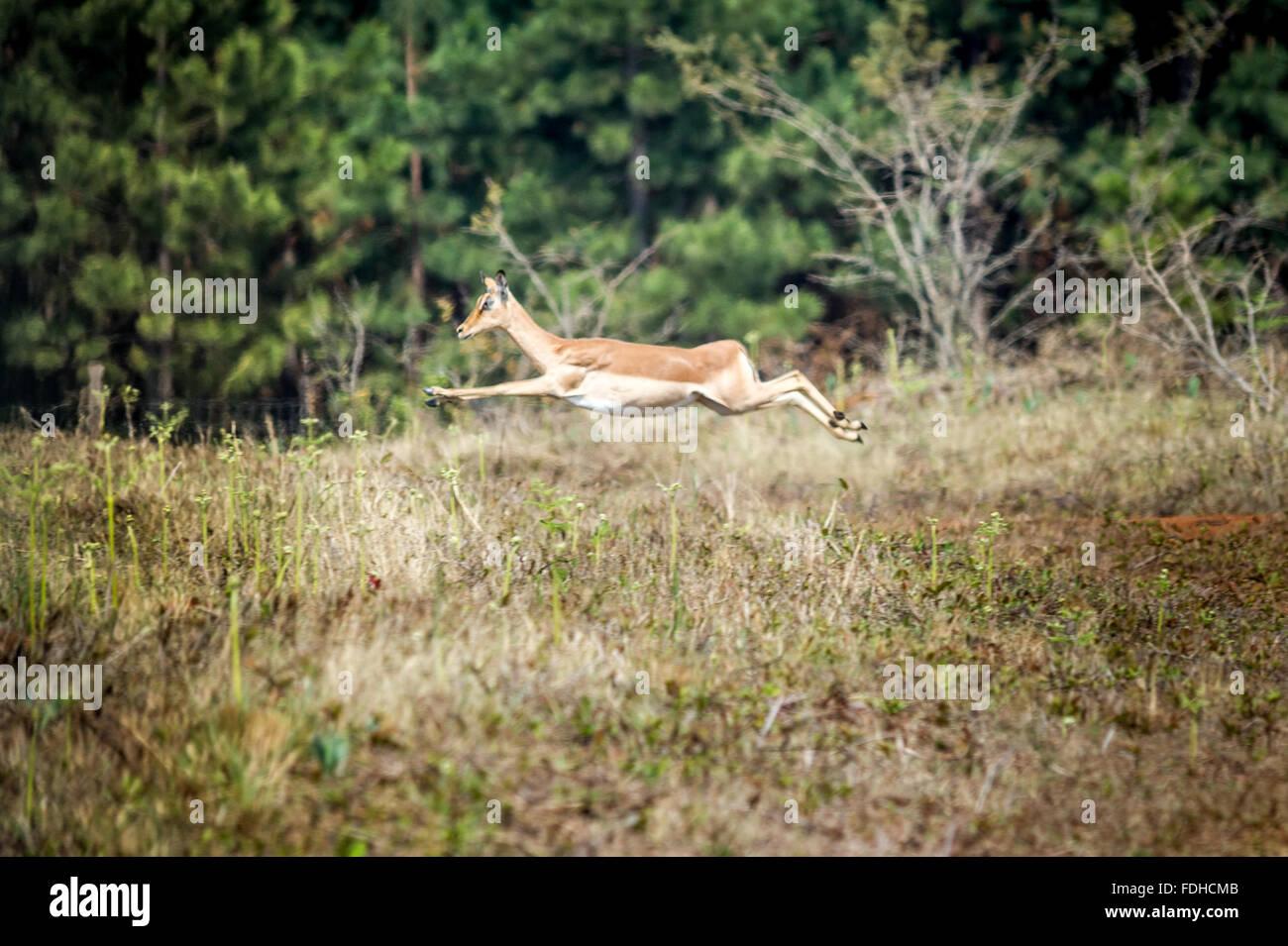 Impala (Aepyceros melampus) leaping through the air at Mlilwane Wildlife Sanctuary in Swaziland, Africa. - Stock Image