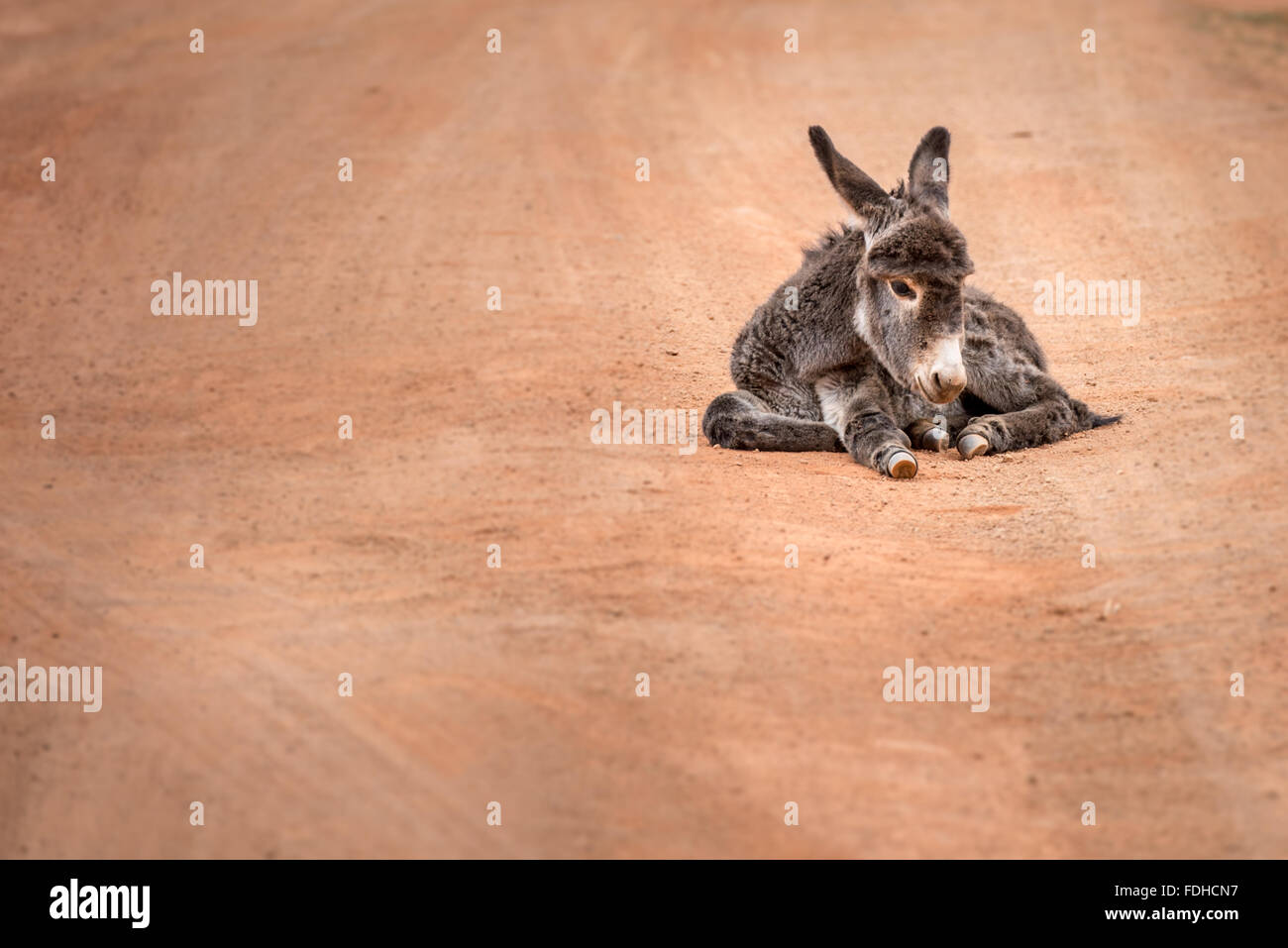 Donkey (Equus africanus asinus) laying in the middle of a dirt road in the Hhohho region of Swaziland, Africa. - Stock Image