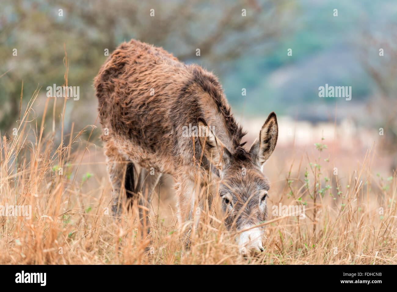 Donkey (Equus africanus asinus) grazing in a field in the Hhohho region of Swaziland, Africa. - Stock Image
