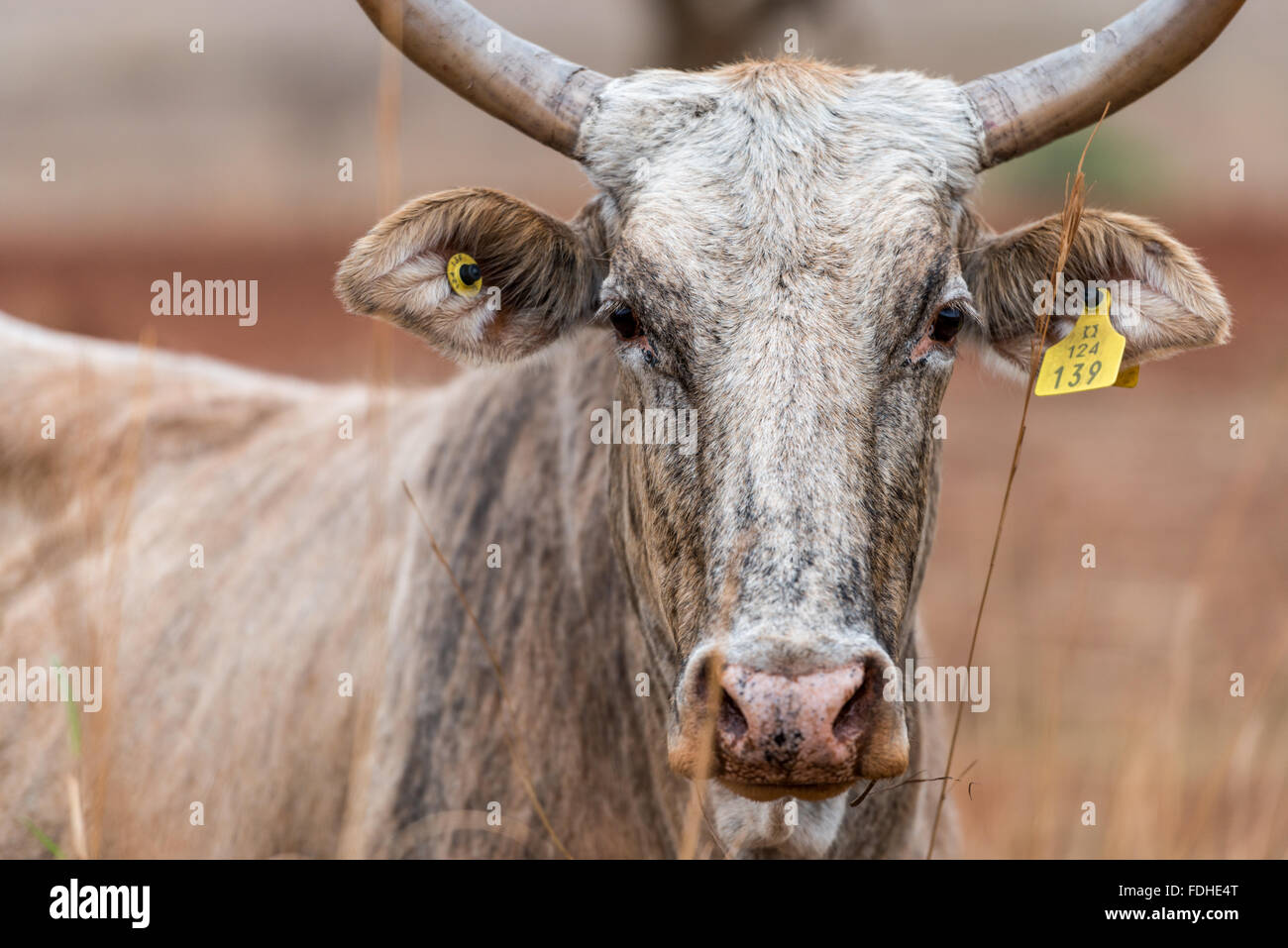 Beef cattle in the Hhohho region of Swaziland, Africa. Stock Photo