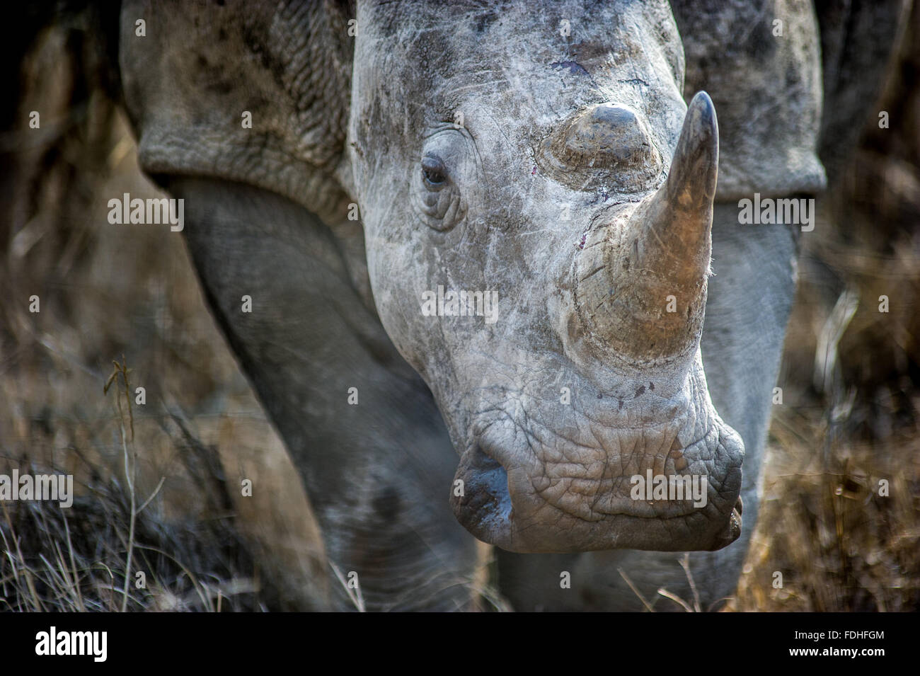 Rhinoceros (Rhinocerotidae) at Hlane Royal Game Preserve, Swaziland, Africa. - Stock Image