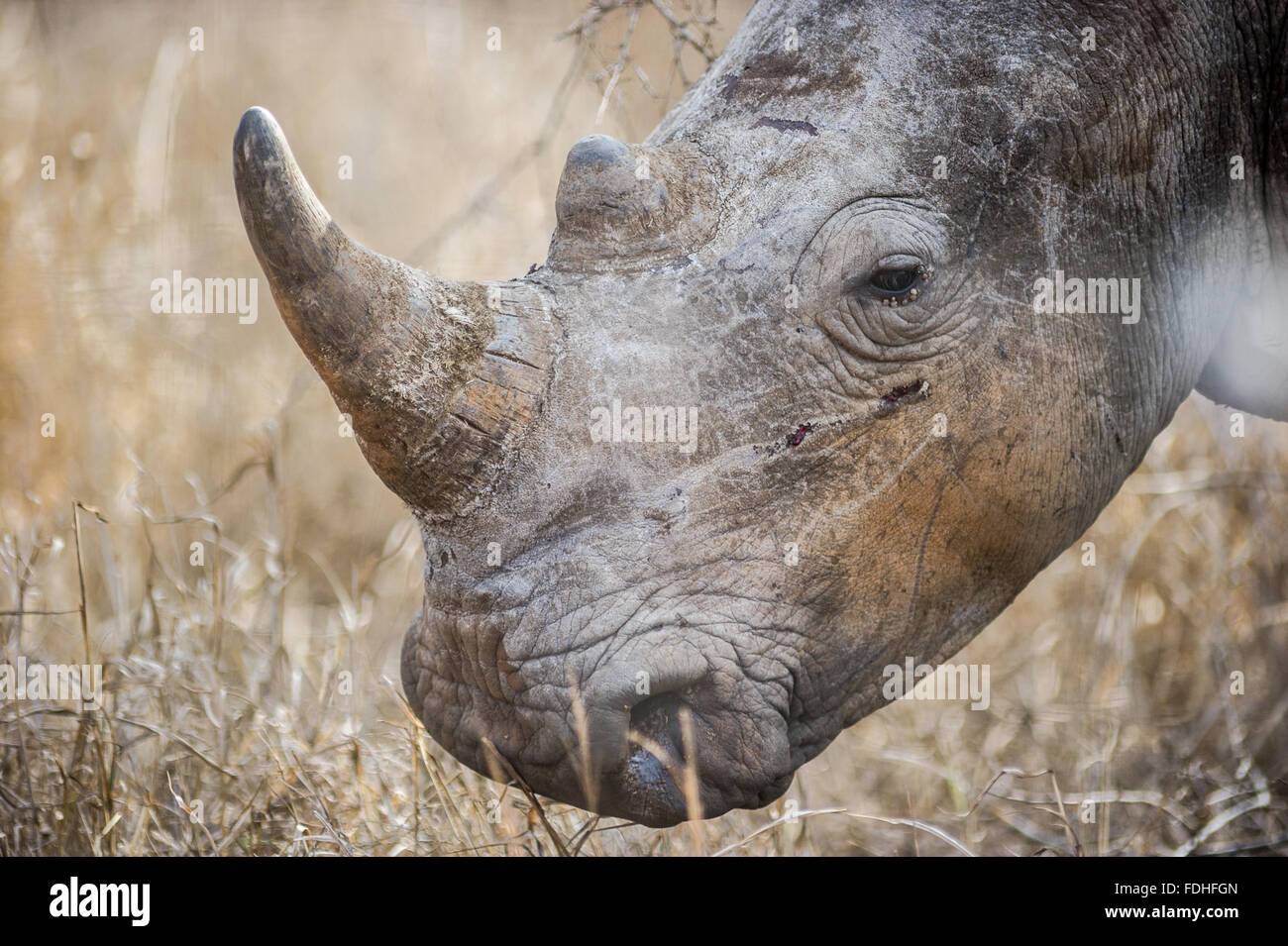 Rhinoceros (Rhinocerotidae) at Hlane Royal Game Preserve, Swaziland, Africa. Stock Photo