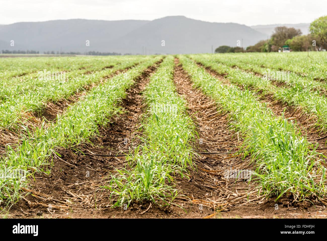 Sugarcane growing in Lubombo, Swaziland, Africa. - Stock Image