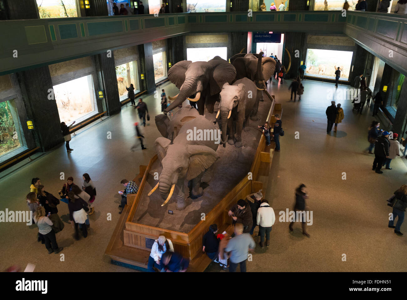 A herd of elephants on display in the large mammals hall at the Museum of Natural History in New York - Stock Image
