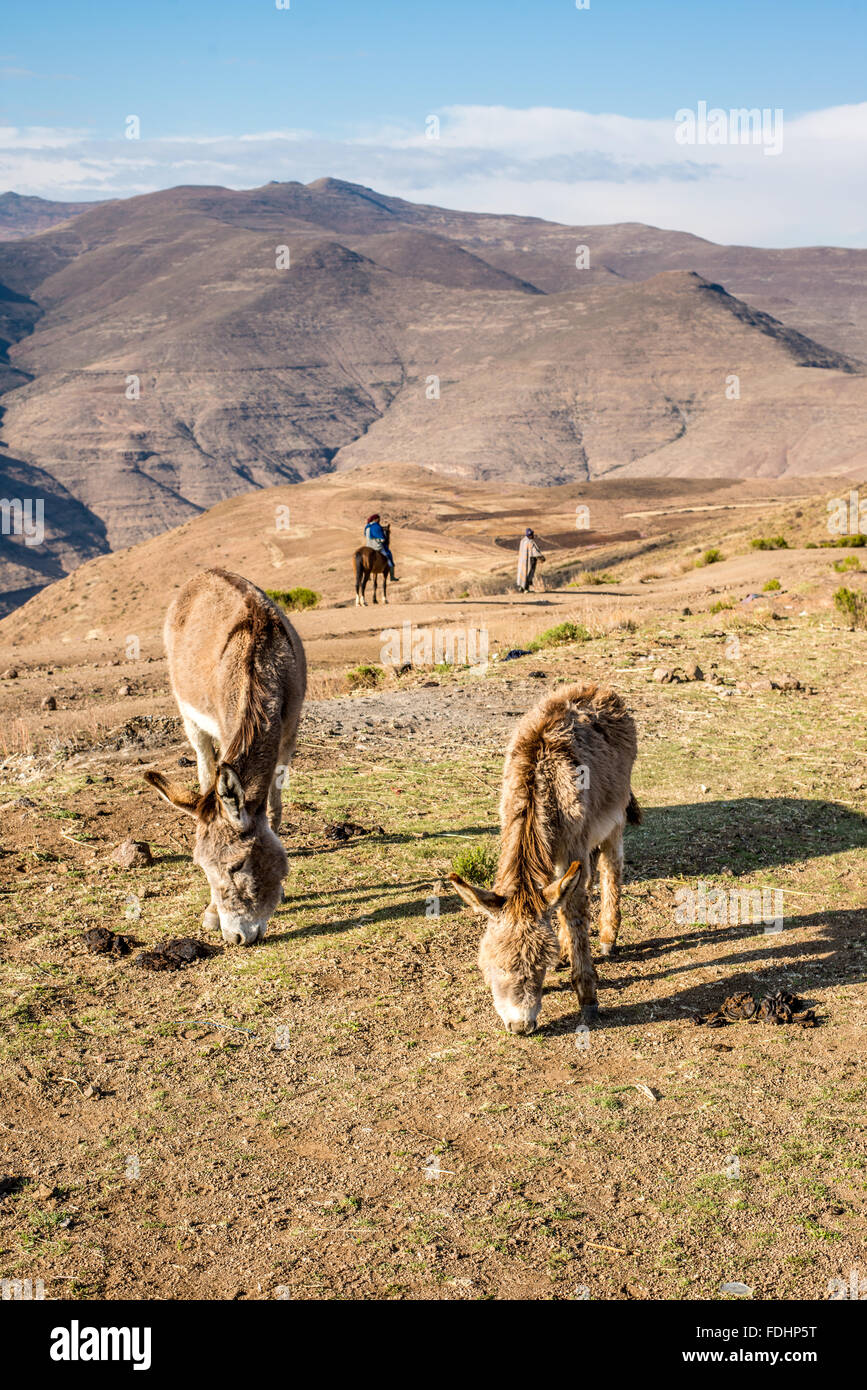 Donkeys grazing and a person on horseback with a shepherd in the mountains of Lesotho, Africa - Stock Image