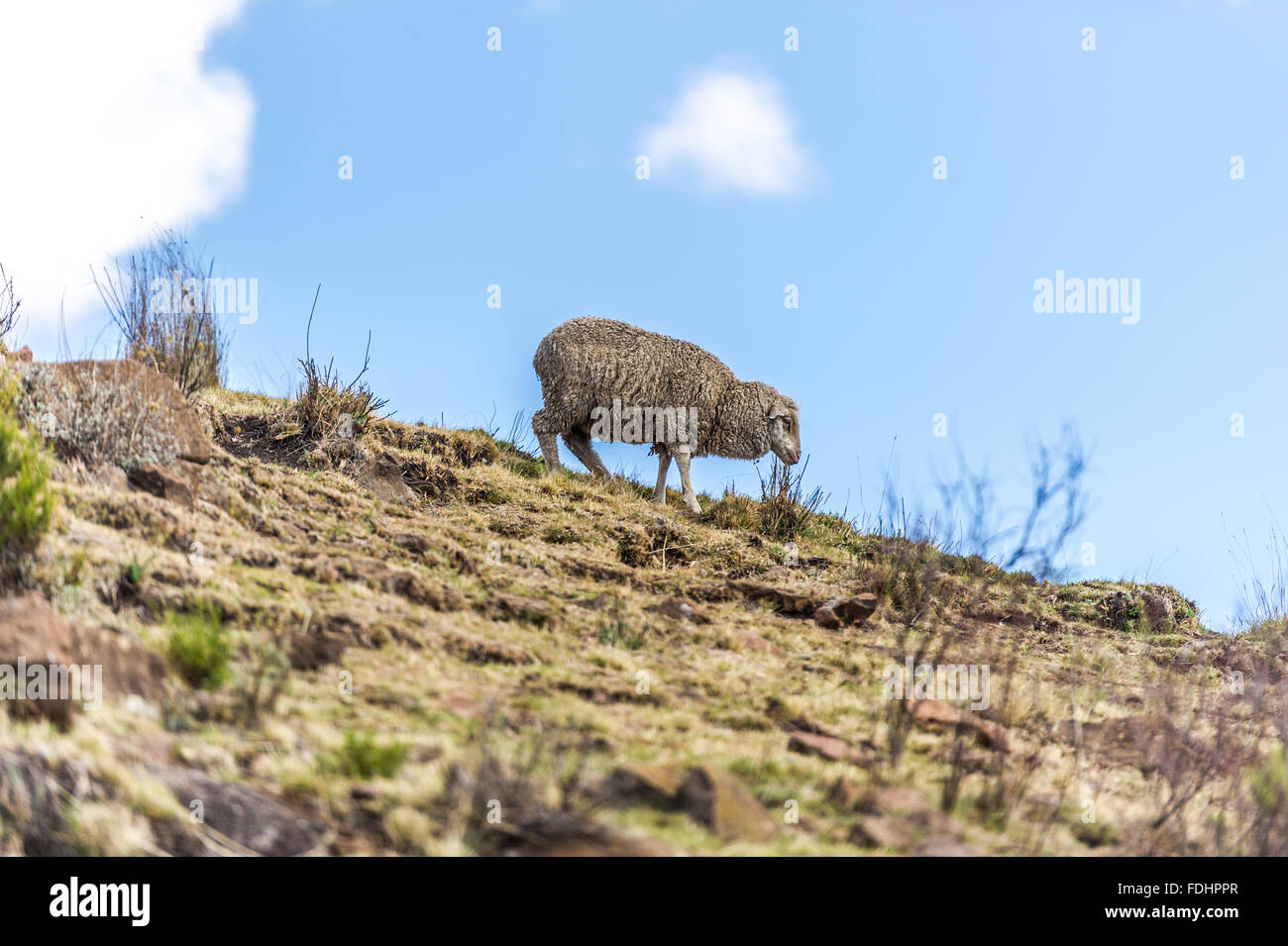 A sheep wandering down a hill in Somenkong, Lesotho, Africa - Stock Image