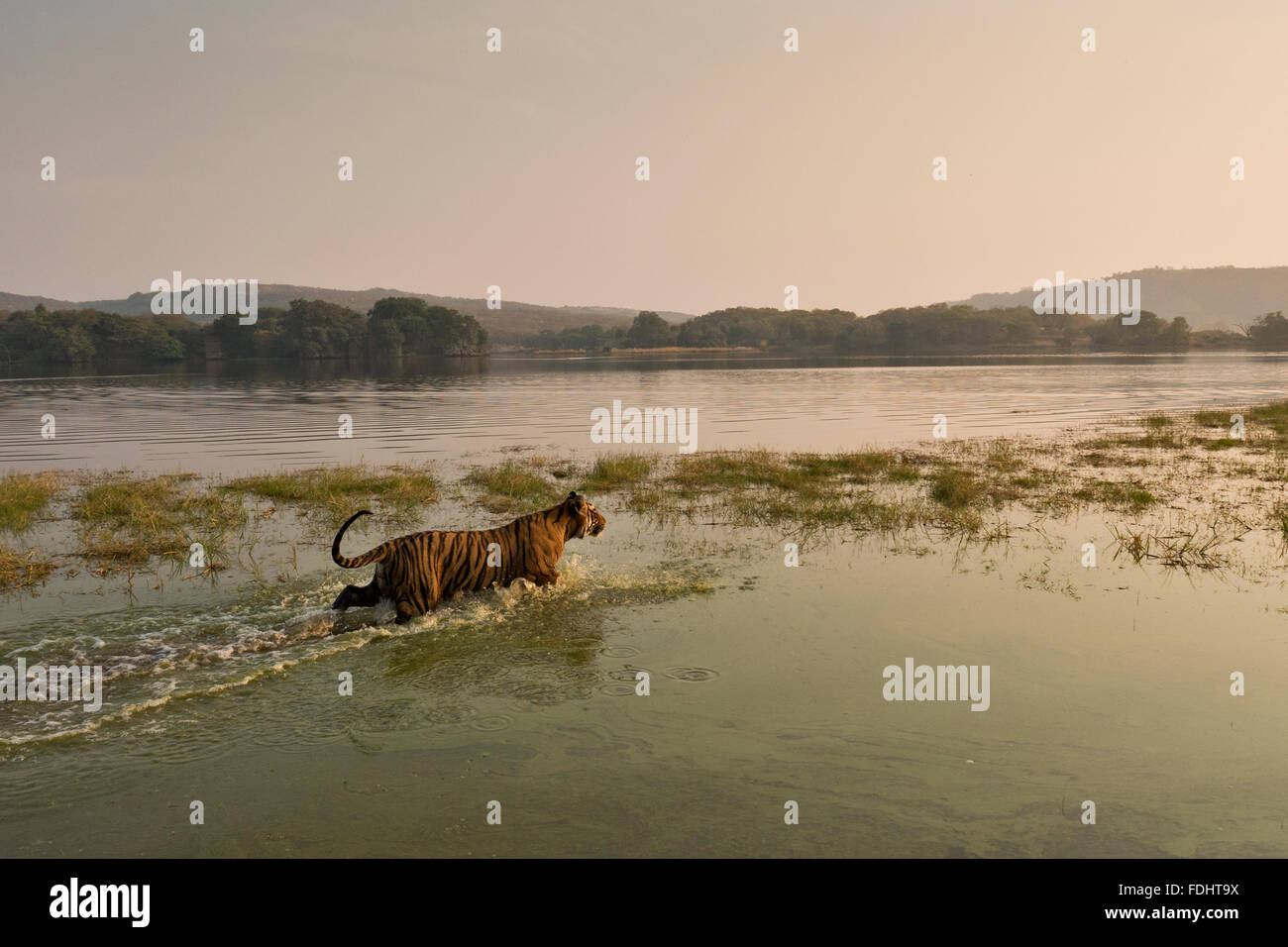 Wide angled shot of a wild tiger walding in the waters of the Raj Bagh lake on a  winter morning in Ranthambhore tiger reserve o Stock Photo