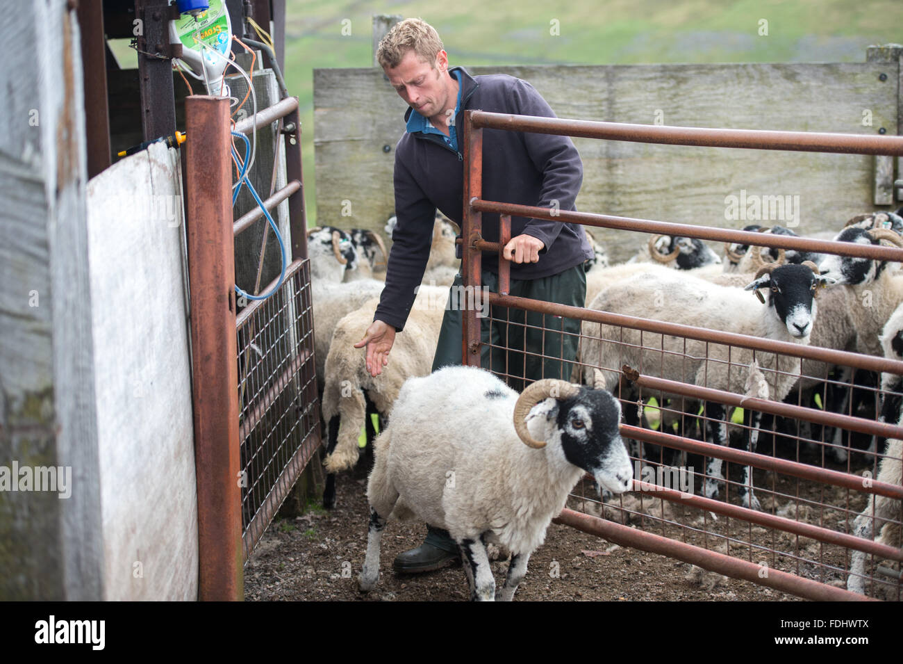 Farmer with Swaledale Sheep in Yorkshire, England, UK. - Stock Image