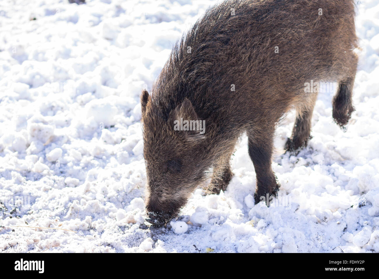 pig wild boar looking for food in snow. wildlife animal background