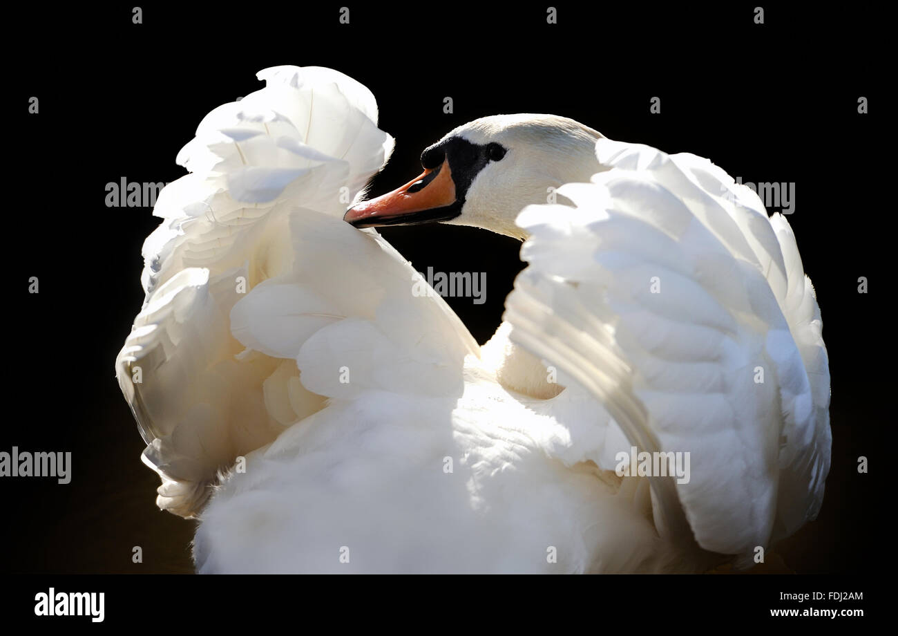 Swan in lake on dark background Stock Photo