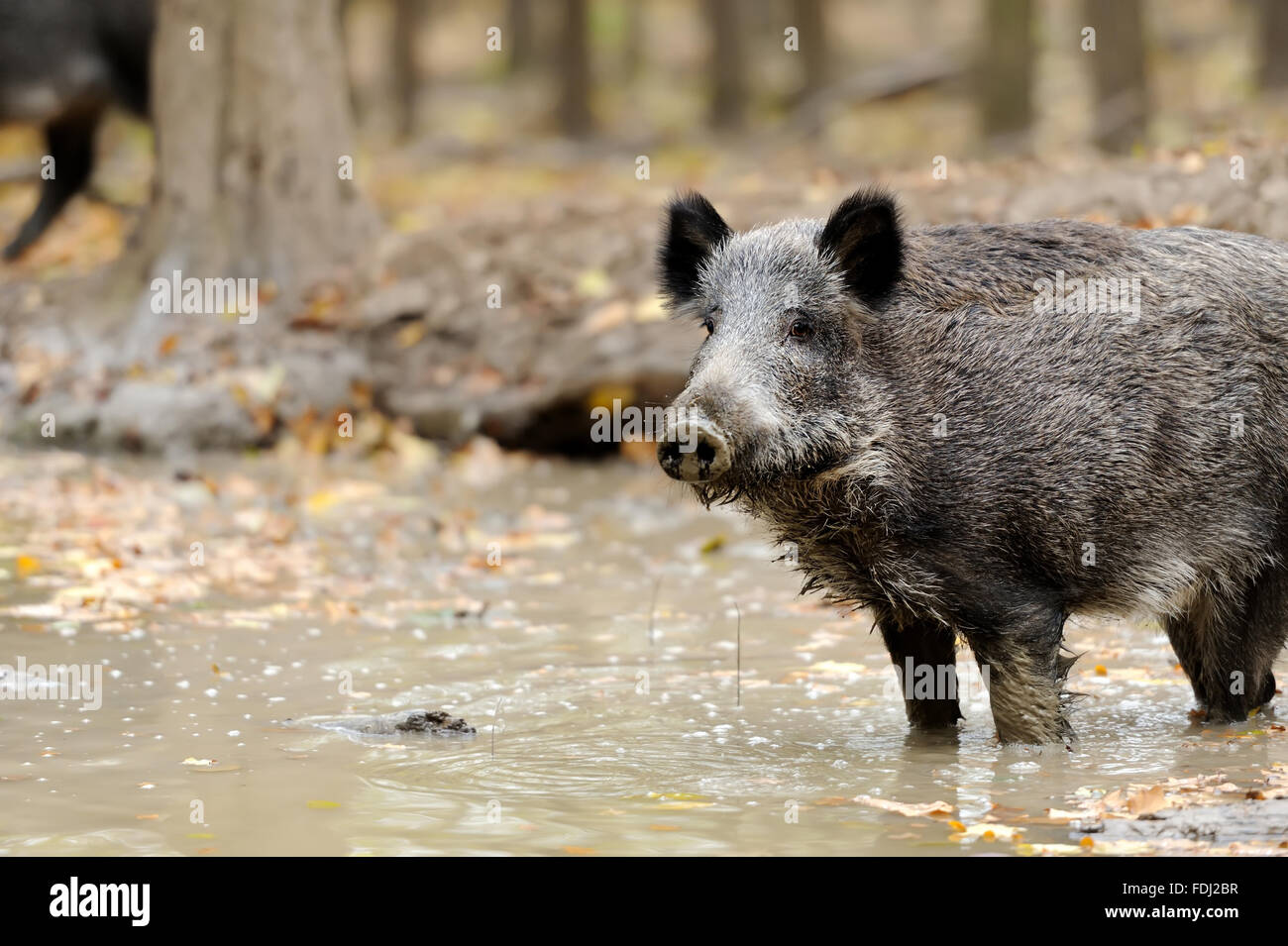 Wild boar in autumn forest. Boar in dirt - Stock Image